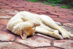 Golden-headed cat's lazy time Stock Photos