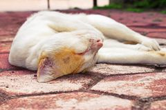 Golden-headed cat's lazy time Royalty Free Stock Images