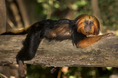 Golden Headed Lion Tamarin Royalty Free Stock Images