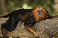Golden Headed Lion Tamarin royalty free stock photos