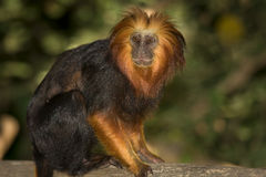 Golden Headed Lion Tamarin. Leontopithecus chrysomelas Royalty Free Stock Photography