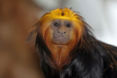 Golden-headed lion tamarin. Looks in the cam royalty free stock photography