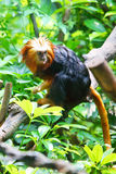 Golden-headed lion tamarin. A golden-headed lion tamarin(Leontideus chrysomelas) -  one kind of small monkey. Golden-headed lion tamarin is endemic to the Stock Images