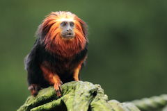 Golden-headed lion tamarin. The golden-headed lion tamarin sitting on the wood Stock Images