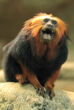 Golden-headed lion tamarin Royalty Free Stock Photos