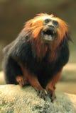 Golden-headed lion tamarin. The screaming golden-headed lion tamarin Royalty Free Stock Photos