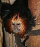 Golden-headed Lion Tamarin. Leontopithecus Chrysomelas Royalty Free Stock Image