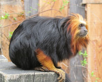 Golden-Headed Lion Tamarin. Beautiful rare golden-headed lion tamarin (Leontopithecus chrysomelas), a lion tamarin endemic to Brazil. It is considered to be an Royalty Free Stock Photo
