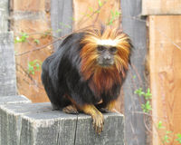 Golden-Headed Lion Tamarin. Beautiful rare golden-headed lion tamarin (Leontopithecus chrysomelas), a lion tamarin endemic to Brazil. It is considered to be an Royalty Free Stock Images