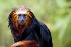 Golden-headed lion Tamarin Stock Photography