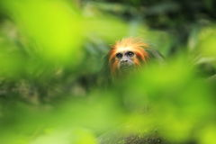Golden headed lion tamarin Stock Photo
