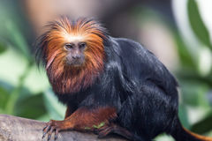 Golden-headed lion tamarin (Leontopithecus chrysomelas) Stock Image
