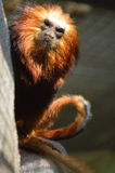 GOLDEN-HEADED LION TAMARIN. Leontopithecus chrysomelas perched on a rock Royalty Free Stock Photos