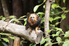 Golden-headed lion tamarin Royalty Free Stock Photography