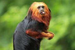 Golden-headed lion tamarin Royalty Free Stock Photography