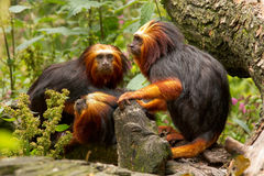 Golden-headed Lion Tamarins Stock Photos