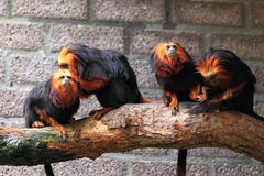 Golden-headed lion tamarins Stock Image