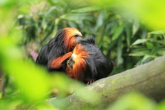 Golden headed lion tamarins Royalty Free Stock Image