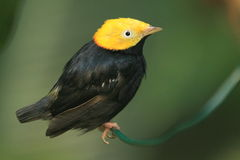 Golden-headed manakin. The golden-headed manakin sitting on the branch Stock Photos