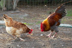 Golden headed maran rooster and hen eating Stock Photo