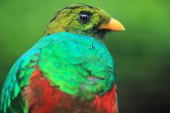 Golden-headed quetzal detail Royalty Free Stock Photos
