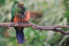 Golden-headed quetzal Stock Images