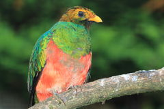 Golden-headed quetzal Stock Photography