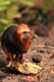 Golden headed tamarin Stock Photos