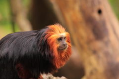 Golden headed tamarin Stock Photography