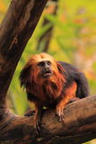 Golden headed tamarin Royalty Free Stock Images