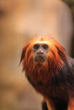 Golden headed tamarin. Captive, cute little golden headed tamarind on a branch of a tree Royalty Free Stock Photo