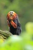 Golden-headed tamarin Royalty Free Stock Image