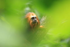 Golden-headed tamarin Stock Photo