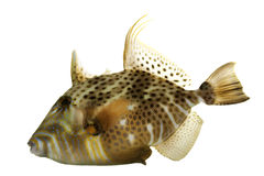 Golden Heart Triggerfish Stock Image