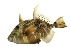 Golden Heart Triggerfish Stock Image