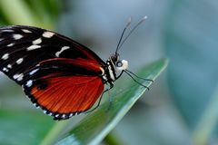 Golden Helicon Butterfly Royalty Free Stock Photos