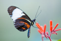 Golden helicon butterfly Stock Photography