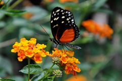 Golden Helicon Butterfly,aka,Heliconius Hecale Royalty Free Stock Image