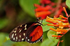 Golden Helicon Butterfly,Heleconius hecale Stock Photos