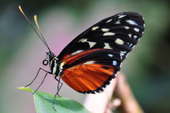 Golden Helicon butterfly,Heliconius hecale Royalty Free Stock Photos