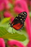 Golden Helicon Butterfly,Heliconius hecale Stock Image
