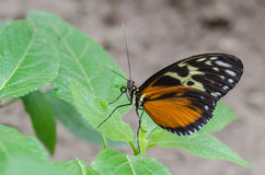 Golden Helicon butterfly. On a leaf royalty free stock photography