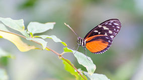 Golden Helicon butterfly. Sitting on a leaf royalty free stock photos