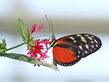 Golden Helicon (Heliconius hecale). Is standing on flower stock images