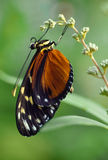 Golden Helicon at Rest. Golden Helicon (Heliconius hecale) Neotropical Butterfly Royalty Free Stock Photos