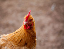 Golden Hen Royalty Free Stock Image