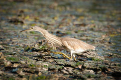 Golden heron Royalty Free Stock Photography