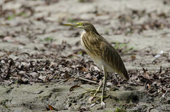 Golden Heron. (ardeola ralloides) waiting Stock Photography