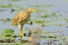Golden heron -ardeola ralloides Royalty Free Stock Photography
