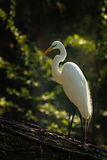 The Golden Heron Stock Images